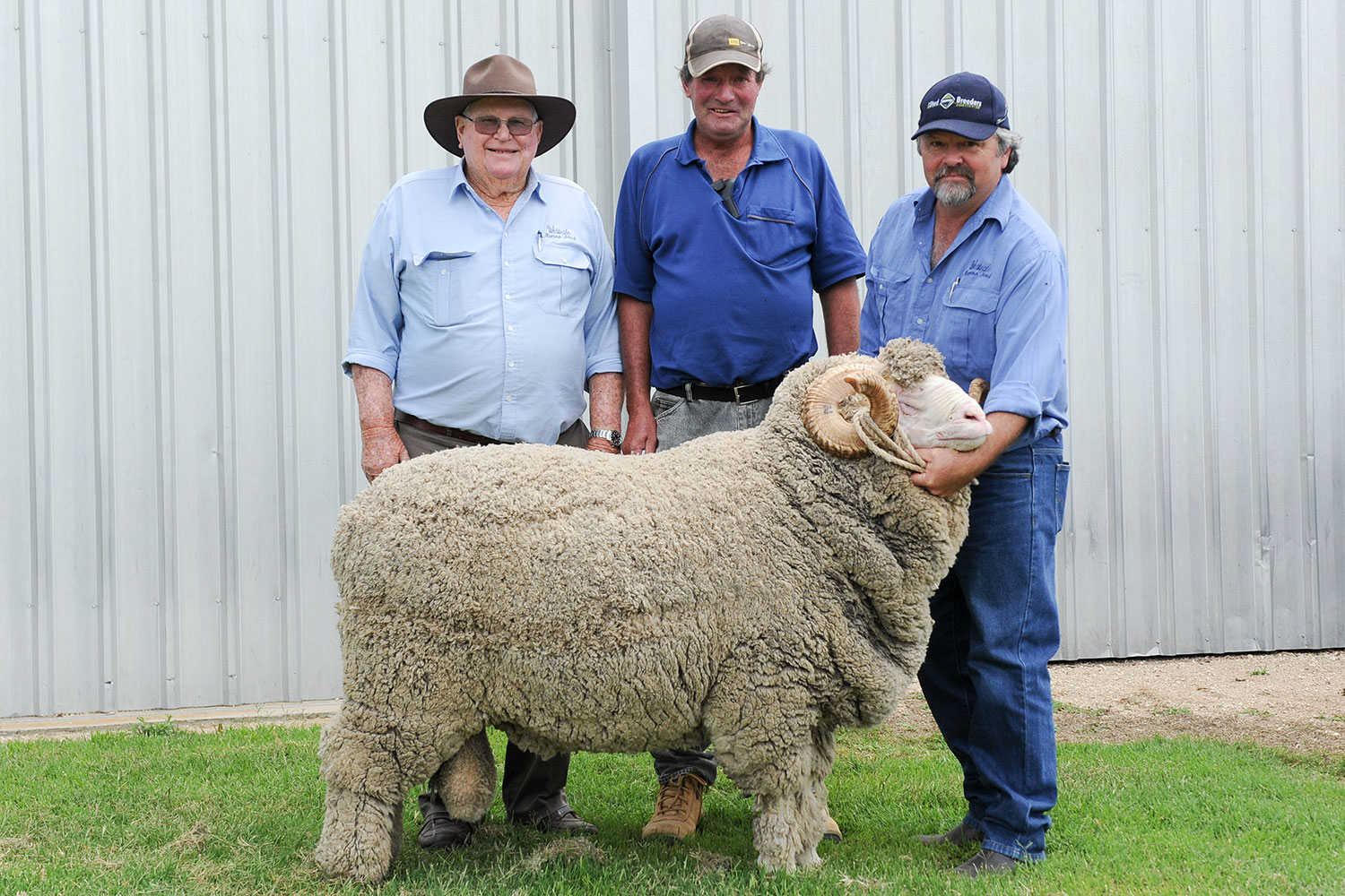 'Westvale Louisville' - Supreme Exhibit at both Tenterfield and Walcha Shows. Ultrafine Ram meas 16.0mc SD 2.4. CV 14.9 Fleece Cut 11kg.